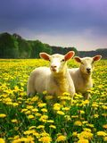 easter lambs Royaltyfri Fotografi