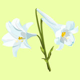Easter lilies. Three white Easter lilies in a bouquet on a pale green background Royalty Free Stock Photo