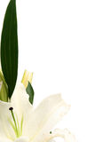 Easter lilies Royalty Free Stock Photography