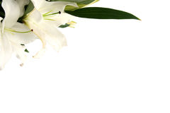 Easter lilies. White easter lilies on a white background Stock Photo