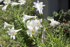 Easter Lilies. Close up of a batch of Easter lilies Royalty Free Stock Photos