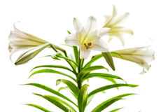 Easter Lilies high key. Lilium longiflorum blossoms also called Easter or November Lily presented in high key against a white background royalty free stock photo