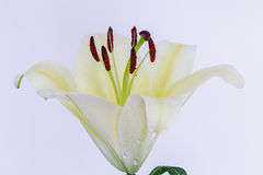 Easter lilies. Easter Lily flowers with on white background Stock Photos