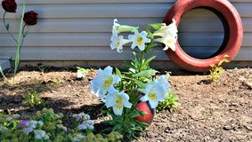 Easter Lilies planted Near Large Bug With Red Tire stock photo