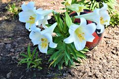 Easter Lilies planted Near Large Lady Bug stock photos