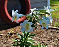 Easter Lilies planted Near Red Tire royalty free stock photo