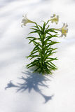 Easter Lilies in Snow vertical. Lilium longiflorum also called Easter or November Lily presented against a backdrop of snow Stock Image