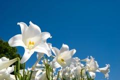 easter lilja Arkivfoton