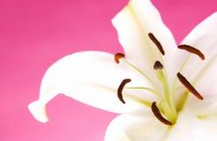 easter lilja Arkivbild