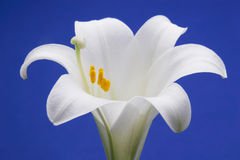 easter lilja Royaltyfri Fotografi
