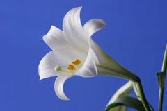 easter lilja Royaltyfria Foton