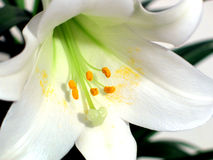 Easter lilly Stock Images