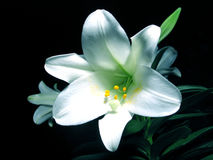 easter lilly Royaltyfri Foto