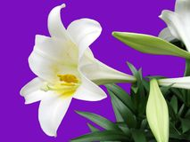 Easter Lilly. This is an Easter Lilly isolated on a purple background royalty free stock image