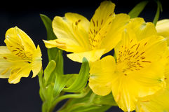 Easter Lilly. A macro photo of several yellow Easter Lilly's on black background Stock Photography