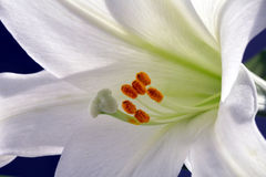 Easter Lilly. Close-up shot of white easter lilly flower, shallow focus Stock Image