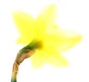 Easter lilly Imagem de Stock