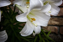 easter lilly Royaltyfri Fotografi