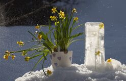 Easter Lilly Flowers Outside In A Snow Weather Royalty Free Stock Photography