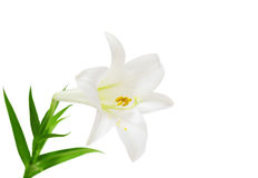 Free Easter Lily Royalty Free Stock Image - 10559456