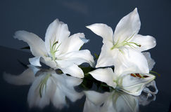 Easter lily. Flower close up Royalty Free Stock Images
