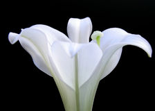 Easter Lily. Close-up of an Easter Lily Royalty Free Stock Image