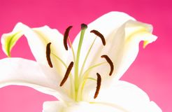 Easter lily Stock Photos