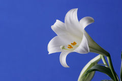 Easter Lily. Flower close Uup with blue background