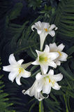 Easter lily. A picture of a cluster of easter lilies taken in the spring Stock Image