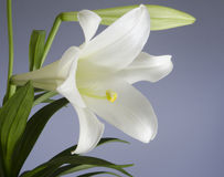 Easter Lily Plant Royalty Free Stock Photos