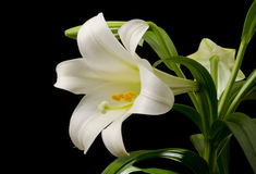 Easter Lily Blossom. Easter lily with a large blossom on a black background Stock Photo