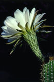 Easter Lily Cactus Royalty Free Stock Photography