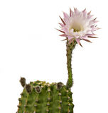 Easter lily cactus with a flower Royalty Free Stock Image