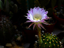 An Easter lily cactus Stock Image