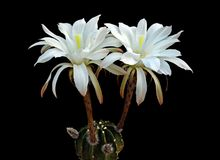 Easter lily cactus with flowers. An Easter lily cactus with flowers Royalty Free Stock Photo