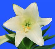 Easter Lily Close-up Royalty Free Stock Images