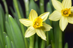 Easter Lily Close Up Stock Images
