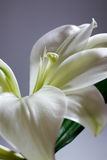 Easter Lily Flower Royalty Free Stock Photos
