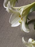 Easter Lily Flower on grey canvas  background. Copy space . Conceptual Image for Easter Holiday Royalty Free Stock Photography