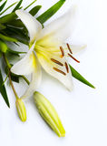 Easter lily flower on white background Stock Photo