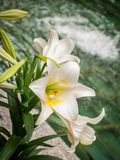 The Easter Lily royalty free stock image