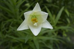 Easter Lily. Genus Lilium, members of true lilies Royalty Free Stock Photos