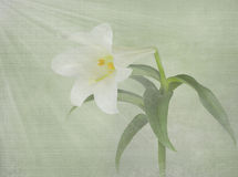 Easter lily with light rays Stock Photography