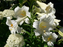 Easter Lily (lilium longiflorum) Royalty Free Stock Image