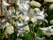 Easter Lily (lilium longiflorum) Stock Photos