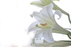 Easter Lily Stock Photography