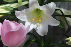 Easter lily and pastel pink tulip. Close up of spring flowers in filtered light, Background of lily buds and leaves Stock Photography