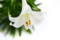 Easter Lily solitaire high key Royalty Free Stock Image