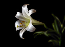 Easter Lily solitaire low key. A single solitary bloom of a Lilium longiflorum also called Easter or November Lily. Presented in low key on black. Room for copy royalty free stock image