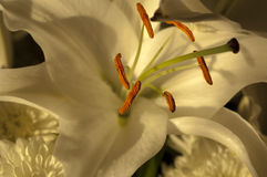 Easter Lily Stamen. Lit with soft light from an adjacent window casting it's shadows onto the white petals Royalty Free Stock Photo